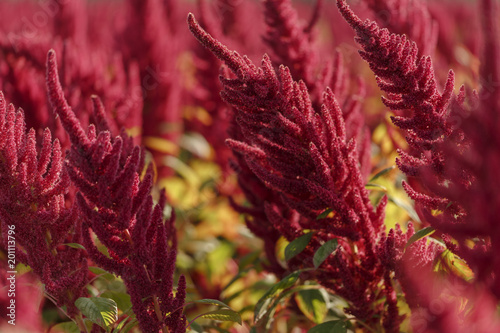 Vibrant Amaranth plant in full bloom cultivated for leaf vegetables, cereals and decoration