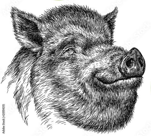 czarno-bialy-wygrawerowac-izolowane-swinia