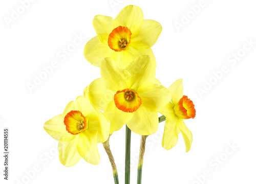 Narcissus Yellow daffodil flowers isolated on white background