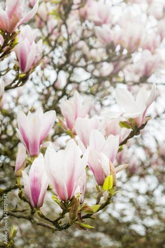 Deurstickers Magnolia Pink Magnolia Tree with Blooming Flowers during Springtime in En