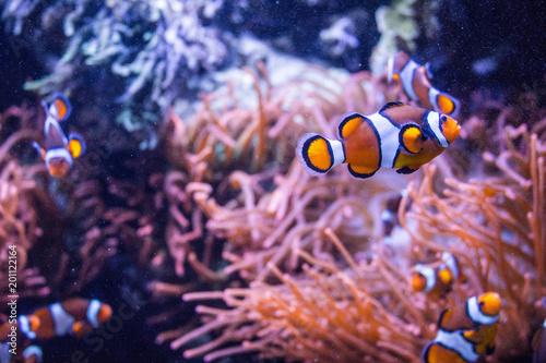 Poster Waterlelies Orange fish
