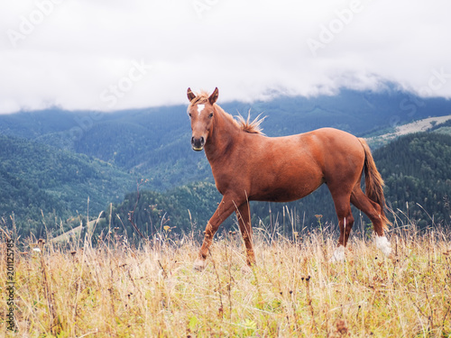 Horse at the Carpatian mountains Poster