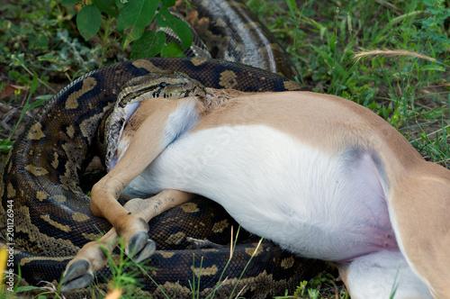 Fotografie, Obraz  Python-Schlange beim fressen einer Antilope