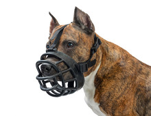 American Staffordshire Terrier Dog With Muzzle On White Background
