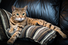 Portrait Of A Bengal Cat Lying...