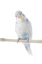 A Budgie Isolated On White.