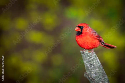 Photo  Male Northern Cardinal perched on a branch against a blurred background