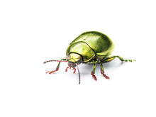 Chrysolina Coerulans Golden Yellow Mint Leaf Beetle Insect Macro Isolated On White