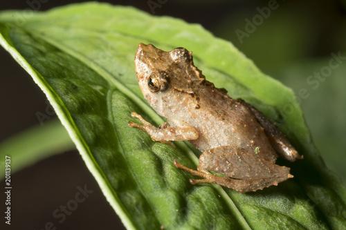 Tuinposter Kikker Rain Frog (Pristimantis sp.) on a leaf in the rainforest. In the Cordillera del Condor, the Ecuadorian Amazon.