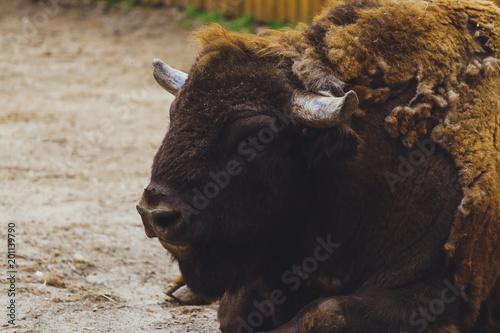 Foto op Plexiglas Bison American bison (buffalo) portrait.