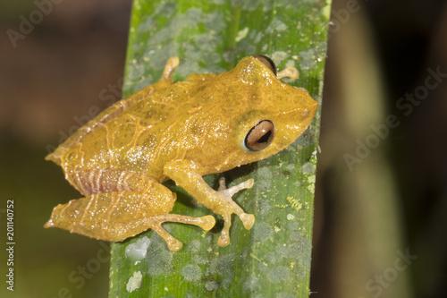 Tuinposter Kikker Rio Coca Robber Frog (Pristimantis quaquaversus) in montane rainforest in the Cordillera del Condor, the Ecuadorian Amazon. An area of exceptionally high biodiversity and endemism.