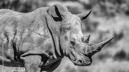 Poster Rhino R