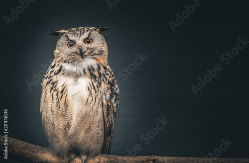 Photo sur Toile Chouette eagle owl