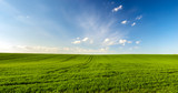 Fototapeta Room - spring landscape panorama,green wheat field