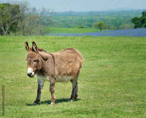 In de dag Ezel Donkey grazing on green spring pasture in Texas