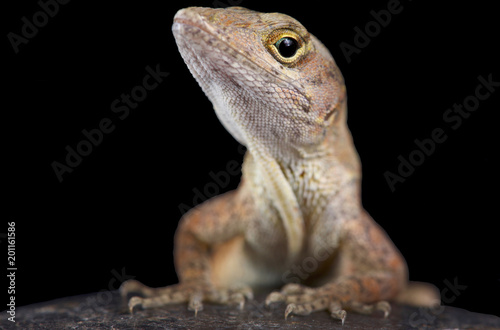 Photographie  Brown anole (Anolis sagrei)