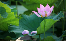A Withering Pink Lotus Flower With Its Petals Fallen On A Green Leaf ~ Beauty In Nature Of An Aging Process