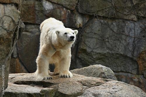 Staande foto Ijsbeer Big beautiful polar bear in the rocky area. Wonderful creature in the nature looking habitat. Endangered animals in captivity. Ursus maritimus.