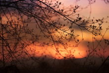 Silhouettes Of Branches Of A Tree In The Gold Colored Sunset.