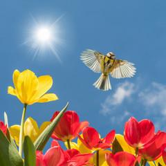 FototapetaEndlich Frühling! Blaumeise fliegt über blühende Tulpen