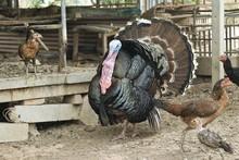 Male Turkeyspreading His Feath...