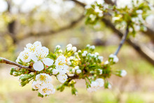 Blooming Cherry Tree. Cherry B...