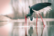 Beautiful Black Stork Fishing ...