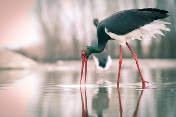 Fototapeta Minimalistyczny beautiful black stork fishing on a lake