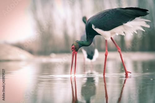 Photo  beautiful black stork fishing on a lake