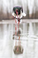 Fototapetabeautiful black stork fishing on a lake