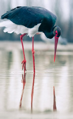 Fototapeta Do salonu beautiful black stork fishing on a lake