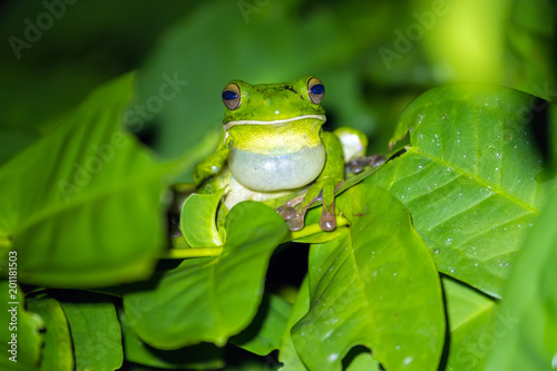 Tropical green frog croaking on leaf