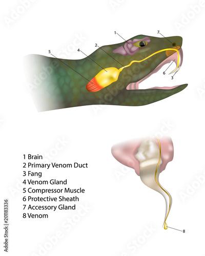 Anatomy Snake Fangs And Venom Biting Snake Morphology Of A