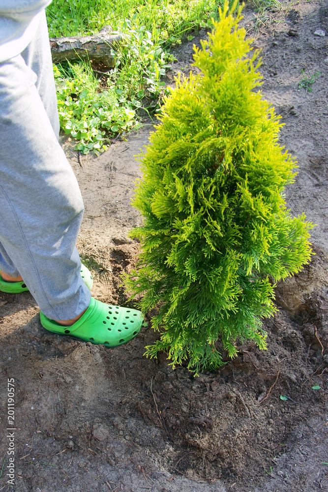 Fotografie, Obraz Planting plants step by step / ornamental