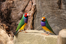The Gouldian Finch Or Erythrur...