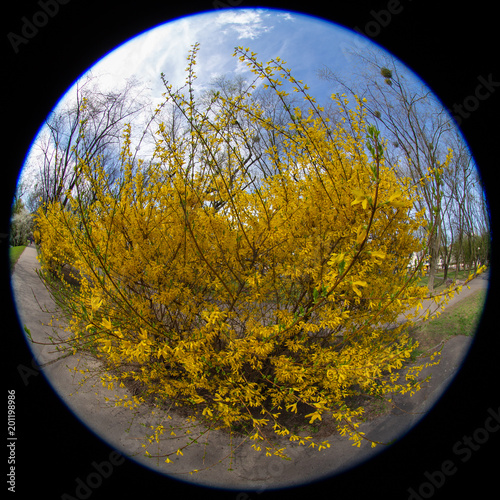 Yellow flowering bush in early spring buy this stock photo and yellow flowering bush in early spring mightylinksfo