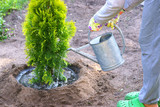 Fototapeta Fototapety do łazienki - Planting plants step by step / ornamental shrub Thuja Golden Smaragd - watering after planting