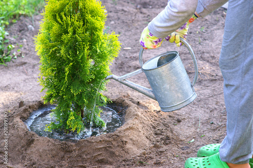 Planting plants step by step / ornamental shrub Thuja Golden Smaragd - watering after planting