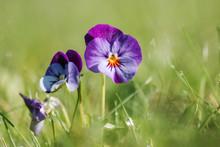 Viola Tricolor. Viola Arvensis.