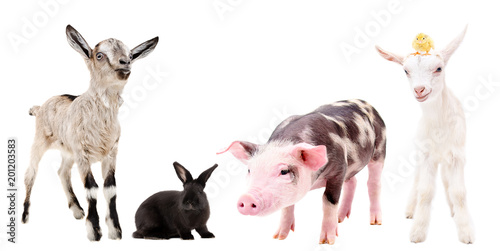 Group of curious farm animals isolated on white background