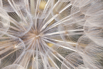 Obraz na SzkleFloral abstract pattern of dandelion seeds from directly above in cold light