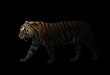 canvas print picture male siberian tiger in the dark