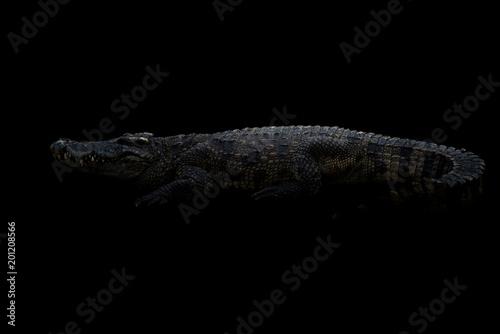 Poster Crocodile siamese crocodile in the dark