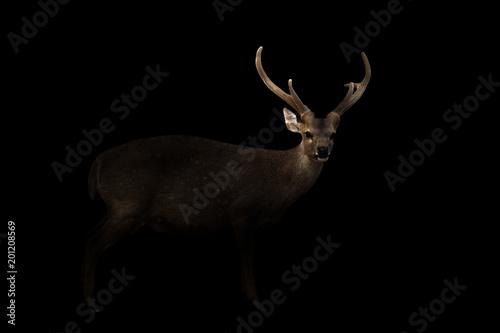 Foto auf Gartenposter Hirsch male hog deer in the dark