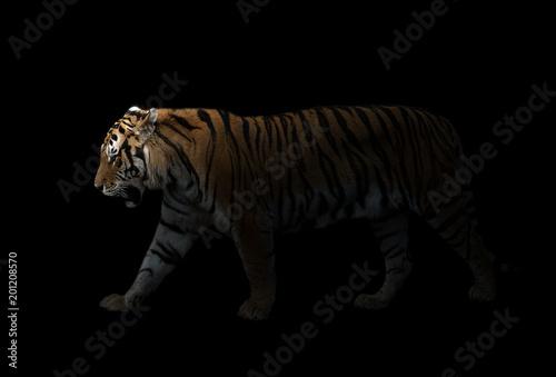 Foto auf AluDibond Tiger male siberian tiger in the dark