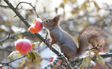 Red Squirrel Nose On Apple In Appletree At Winter