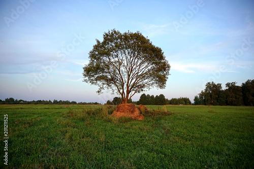 Fotografía  Одинокое дерево стоящее на зеленом поле