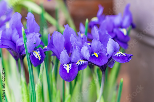 Staande foto Iris blue potted irises closeup, flowers in spring garden..