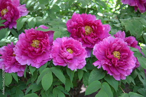 Pivoine, rose au printemps