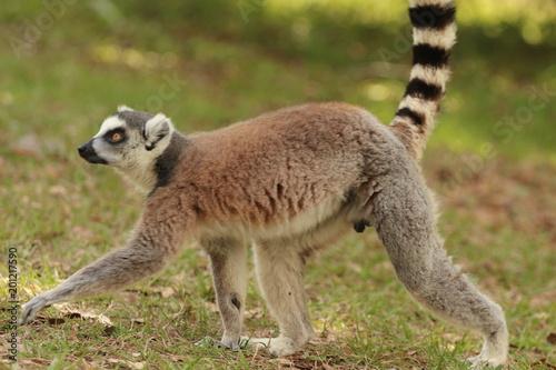 Poster Oceanië Ring Tailed Lemur